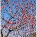 春よ来い♪